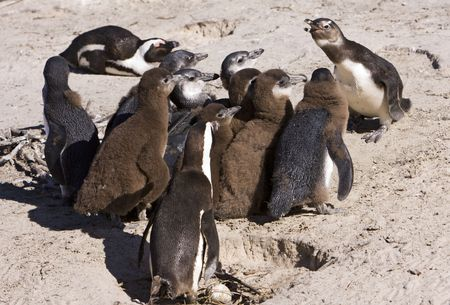 appears: A single penguin appears to be giving a squawking to a group of juvenile penguins. The African Penguin (spheniscus demersus) or Black-footed Penguin is found on the south-western coast of Africa including this beach near Simons Town, South Africa. The bi