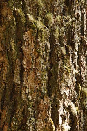大きな木の幹の樹皮の節くれだった亀裂中育っているコケや地衣類の詳細との垂直ビュー。