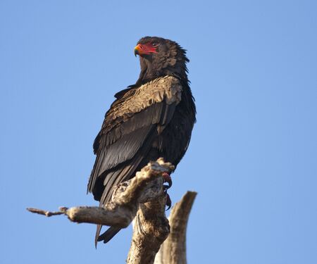 accipitridae: The bateleur (terathopius ecaudatus) is a medium-sized eagle in the bird family accipitridae.
