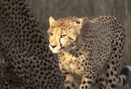 cheetah cub: Young cheetah cub illuminated by sunlight shows glowing orange eyes.  Stock Photo