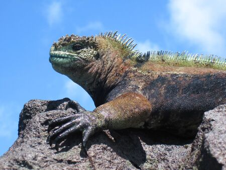 A marine iguana (amblyrhyncus cristatus) on a rock is outlined against the sky. The colors are particular to males in the breeding season. This species of reptile is endemic to the Galapagos Islands of Ecuador. photo