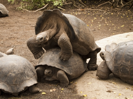 A male and female Galapagos tortoise (geochelone elephantopus) in the mating position. This endangered species of reptile is slowly staging a comeback. Stock Photo