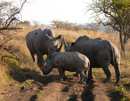 A gathering of a male, female and young rhinos. The white rhinoceros or square-lipped rhinoceros (ceratotherium simum) is one of the few megafauna species left. Behind the elephant, it is probably the most massive remaining land animal in the world. Stock Photo - 7526038