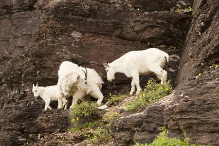 resides: Three mountain goats moving down from a cliff to some grazing area. The mountain goat (Oreamnos americanus), also known as the Rocky Mountain Goat, is a large-hoofed mammal found only in North America. It resides at high elevations and is often seen on cl Stock Photo