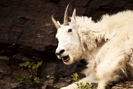 ghost rock: A nanny Rocky mountain goat (oreamnos americanus) in profile looks alarmed but is only burping. Sometimes called the Rocky Mountain ghost, this large-hoofed mammal found only in North America lives at high elevations and is often seen on rock ledges that  Stock Photo