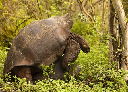 Two giant Galapagos tortoises mating in a forest on Santa Cruz Island. The male appears to have decided to do this in mid-bite as he still has grass in his mouth. Stock Photo - 7909215