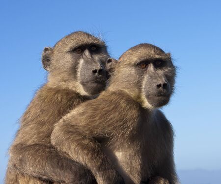Two chacma baboons (papio ursinus) are outlined against the sky. These two monkeys, part of a large troop, were sitting on top of a car near the Cape of Good Hope in South Africa. Chacma baboons are African Old World monkeys and are some of the largest no Imagens