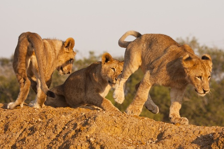 family unit: Three young lion cubs, part of a pride or family unit, playing together on a game preserve. Lions (panthera leo) are a member of the family Felidae and typically inhabit savanna and grassland. Stock Photo
