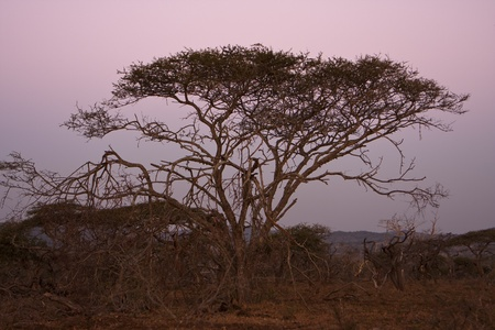 An Acacia tree, sometimes referred to as a thorntree or thorn tree, on the South African savannah after sundown. The sky is a deep purple from the dusk. Stock Photo - 8698338
