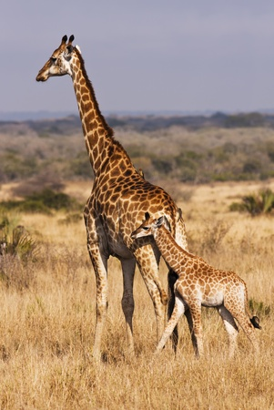A baby giraffe calf with its mother; looking closely, there are two cowbirds on the back of mama doing some cleaning. The giraffe (giraffa camelopardalis) is an African even-toed ungulate mammal, the tallest of all land-living animal species, and the larg Stock Photo