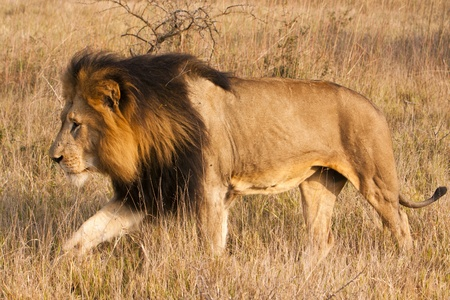 A male lion, with a full, dark mane, is moving through the grass. The lion (panthera leo) is a member of the family Felidae. They typically inhabit savanna and grassland, although they may take to bush and forest.