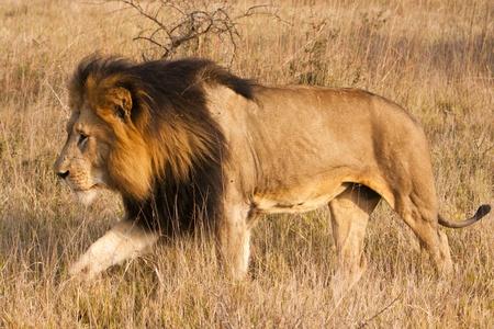 panthera leo: Un le�n macho, con una melena completa, oscuro, se est� moviendo a trav�s de la hierba. El Le�n (panthera leo) es un miembro de la familia Felidae. Normalmente habitan sabanas y praderas, aunque puede tomar a bush y bosque. Foto de archivo