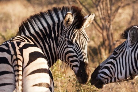 characteristic: Two zebras touch their muzzles while moving through the brush at a game preserve in South Africa. With characteristic black and white stripes, zebras are odd-toed ungulates of the Equidae family native to eastern, southern and southwestern Africa