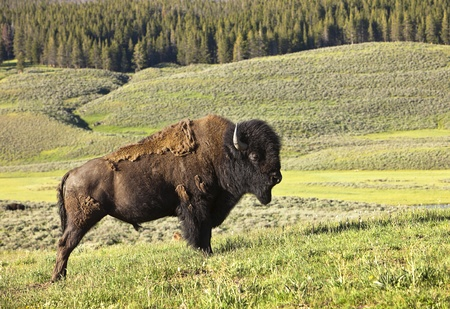 american bison: A male American bison (bison bison) stands along in Hayden Valley in Yellowstone National Park. During the summer, the animal sheds its thick winter fur coat. Stock Photo