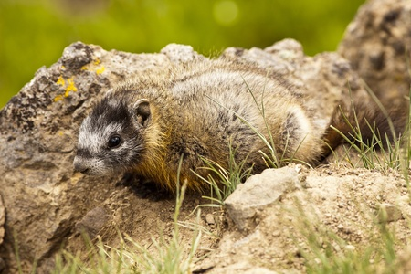 no movement: A young yellow-bellied marmot (marmota flaviventris) showing no movement by the side of a trail in Yellowstone National Park. Stock Photo