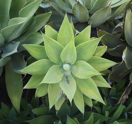 A nearly symmetrical agave plant in a garden in California