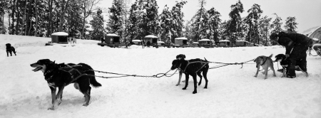 harnessing: SNOWMASS, CO - DECEMBER 26, 2010  Team of sled dogs are being harnessed by their trainer for a practice run in Snowmass, Colorado on December 26, 2010  Scanned from black and white film  Editorial