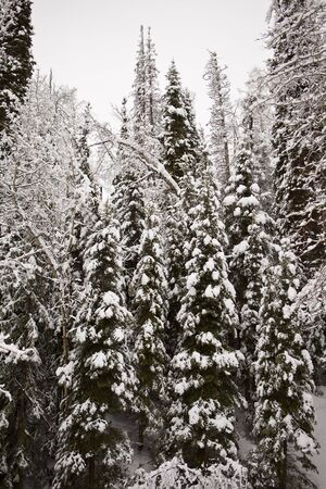 laden: A vertical perspective of evergreen trees with branches heavily laden with snow in winter