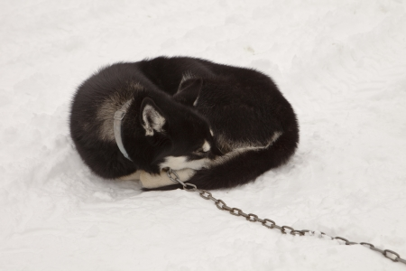sled dog: A sled dog sleeping outdoors in the snow while curled up into a ball