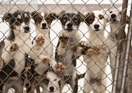 A litter of seven puppies in training to become sled dogs stand and wait for visitors behind a chain link fence