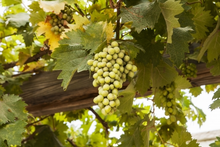 A cluster of green grapes hang from vines on a wood trellis in Galilee, Israel