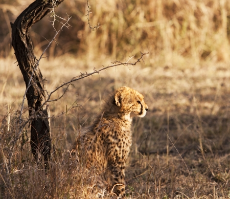 Phinda, South Africa - August 11, 2008  An alert young cheetah cub sitting in sunlight  The cheetah  acinonyx jubatus  is a member of the cat family  felidae   It is the fastest land mammal, yet lacks the climbing abilities of other cats  photo