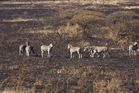 dazzle: A dazzle, or herd, of zebra (equus quagga) on a grass savanna that is black with ash and soot from a recent brush fire