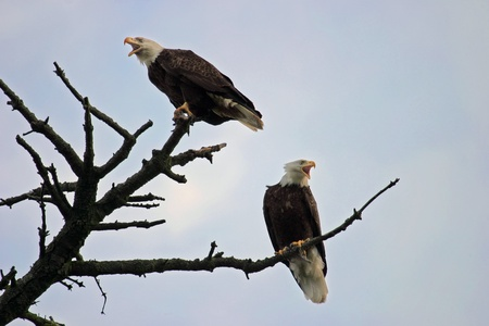 profiled: Two American bald eagles are perched on the top branches of a tree and profiled against a light blue sky. These large, majestic birds that are symbolic of American freedom; these two eagles both have their beaks open as they screaming at some of the crows