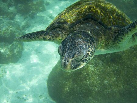 chelonia: A large marine sea turtle  chelonia mydas  swimming in a lagoon in the Galapagos Islands of Ecuador