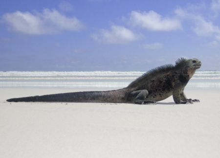 A marine iguana  amblyrhyncus cristatus  is at a peaceful rest on a sandy beach is highlighted against the surf and sky  This species of reptile is endemic to the Galapagos Islands of Ecuador