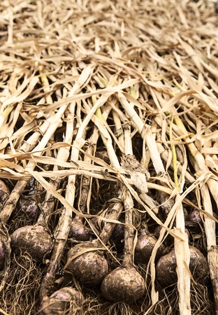 Bulbs of garlic on an organic farm on Waldron Island are drying out in the drying shed in preparation to be cut and cleaned for market  Stock fotó