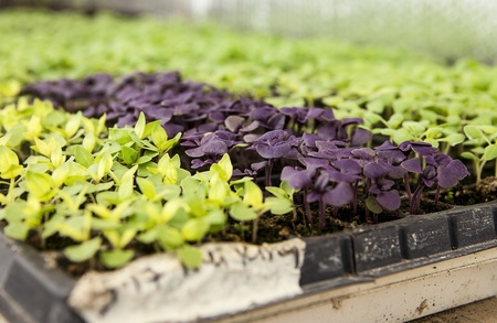 veggie tray: Baby lettuce plants are sprouting in trays in a greenhouse before being planted on an organic farm on Waldron Island