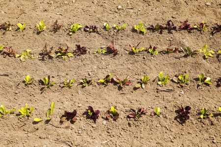 Rows of baby lettuce plants are growing in a field on an organic farm as viewed from directly above