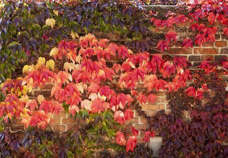 onset:  bright red colors of ivy on a wall in Prague as the leaves change color with the onset of cold weather