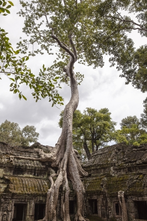 An enormous spung tree  tetrameles nudiflora  tree grows at the jungle temple of Ta Prohm in Angkor, Cambodia  The root system straddles a two story gallery on the outside of the temple complex