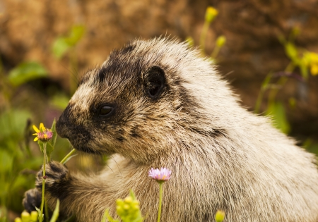 bellied: A marmot, searching for food, appears to be sitting for a portrait  The yellow-bellied marmot  marmota flaviventris , also known as the rock chuck, is a ground squirrel in the marmot genus  Its range is in Western US and Canada