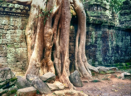 reclaiming: Tree roots climb up a wall at the Ta Prohm Temple near Angkor Wat  This temple is relatively unrestored to show the way that the jungle was reclaiming the ancient buildings  Stock Photo