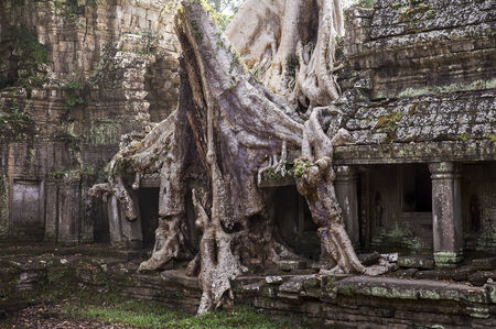 The roots of a huge spung tree  tetrameles nudiflora  grow over a stone gallery at the Preah Khan temple complex near Angkor Wat in Cambodia photo