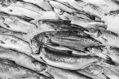 king salmon: A display of fresh king salmon on ice in a showcase at the Pike Place Market in Seattle, Washington   Converted to black and white monochrome