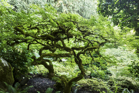 has been: A small tree has been pruned and trimmed in a Bonsai fashion in a formal Japanese garden. Stock Photo