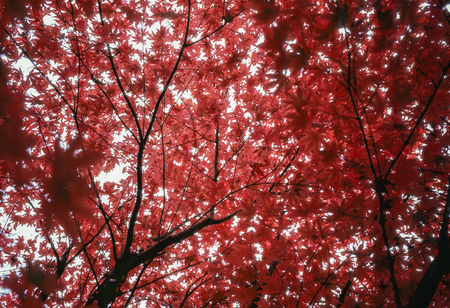 acer: Leaves on a Japanese maple (Acer palmatum)  have turned bright red. Viewed from below, the leaf canopy spreads out overhead.