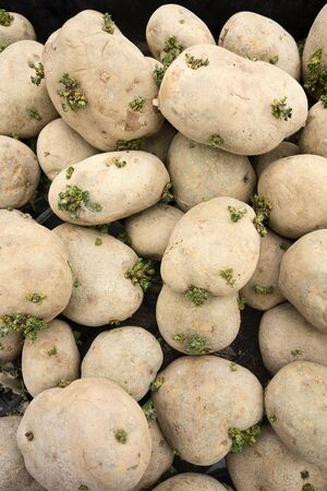 spud: A small pile of spud potatoes that are slowly going to seed as sprouts grow from the skins. Stock Photo