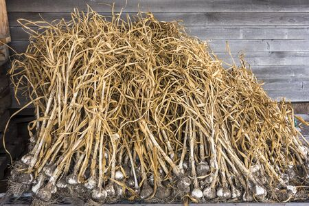 Organic garlic has been harvested. The stalks and bulbs are in the drying shed waiting to be cleaned and sold. Stock fotó