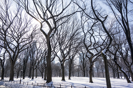 twisty: The silhouettes of the twisted branches of elm trees in Central Park are highlighted against the sky on a winter day in New York City.
