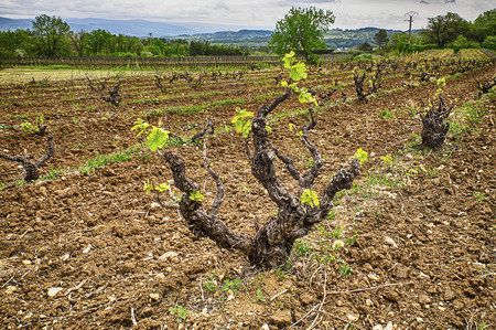 luberon: A grapevine just starting to send out shoots in the spring in a vineyard in the Luberon. In Provence vines are often trained in a bush style versus the trellis style seen in other parts of the world.