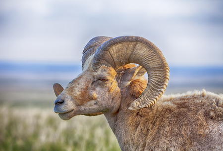 curving: An old male bighorn sheep ovis canadensis with large curving horns stands in profile against the rolling prarie of the Badlands National Park in South Dakota. Stock Photo