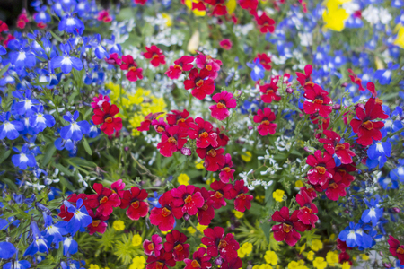 red flower: A flower bed in a formal garden is filled with red, Blue, and Yellow Petunias in full blossom.