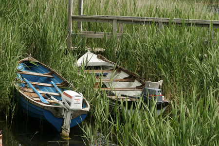 bulrushes: Two small boats with outboard engines are pulled ashore at the edge of a lake. The two skiffs are surrounded by marsh grass and reeds. The blue and white paint is peeling from the boatds.