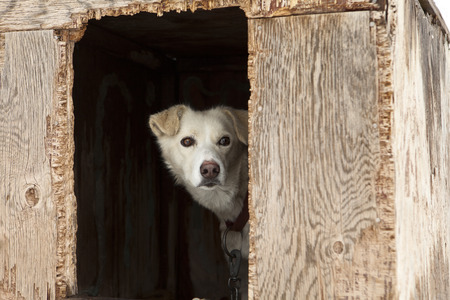 kennel: A single sled dog watching warily from inside the door of its weather-beaten plywood kennel. Stock Photo
