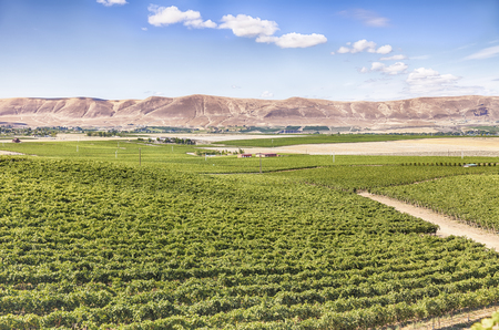 vineyard: A view of vineyards on Red Mountain. Red Mountain is an American Viticultural Area AVA in the eastern half of Washington State.